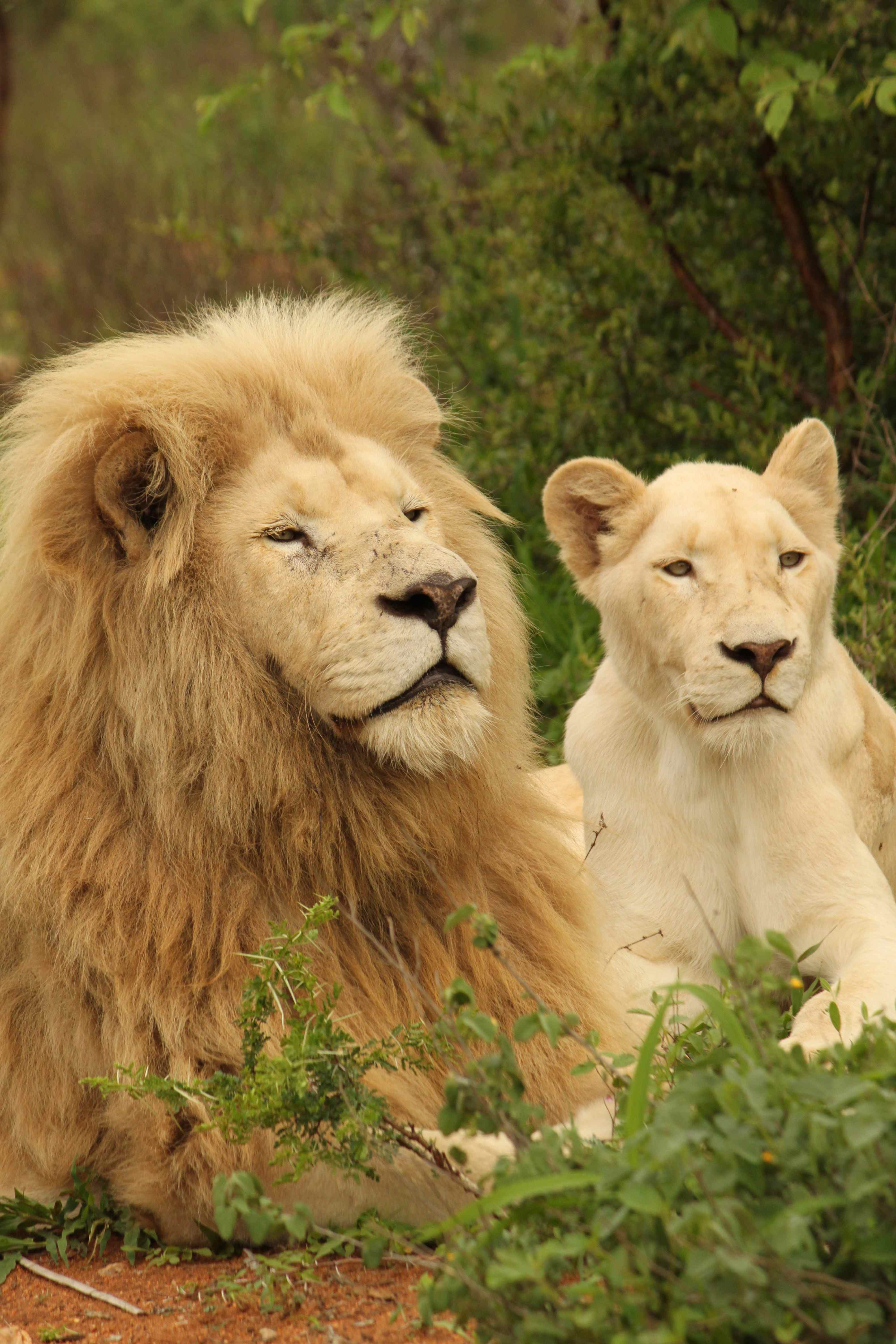 The Habitat Of A White Lion - Best Image Lion 2018
